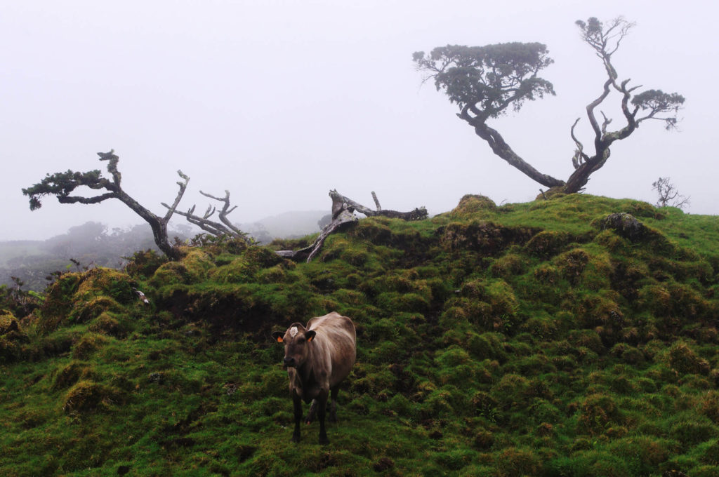 Azoren - Insel Pico - Kühe und Berge im Nebel