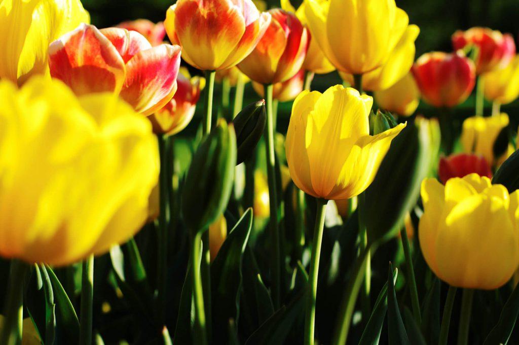 Tulpen in den Gärten der Welt