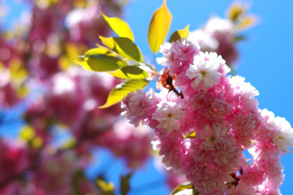Gärten der Welt Berlin - Kirschblüten