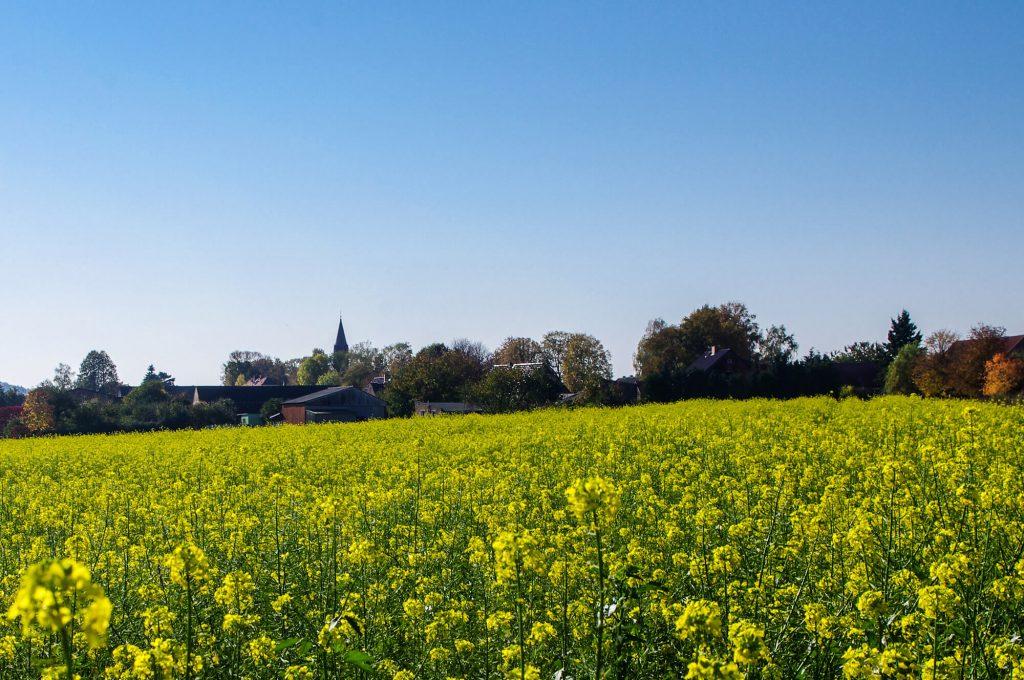 Rapsfeld in Brodowin in Brandenburg