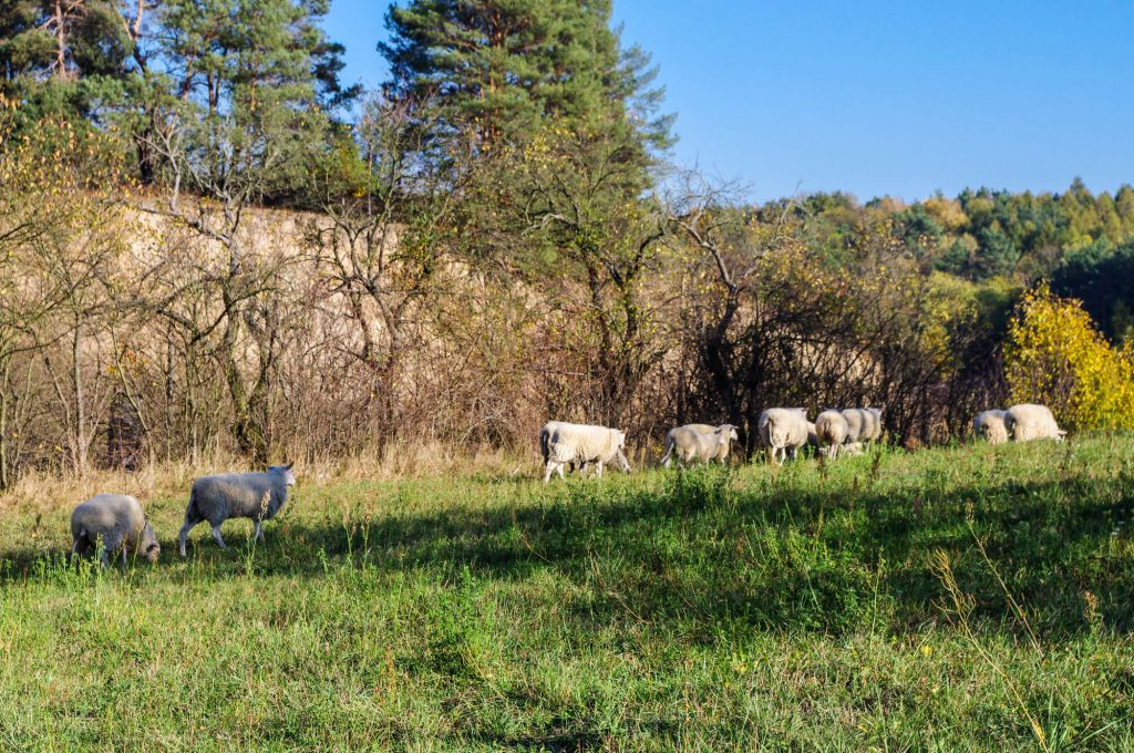 Schafherde in Brodowin in Brandenburg