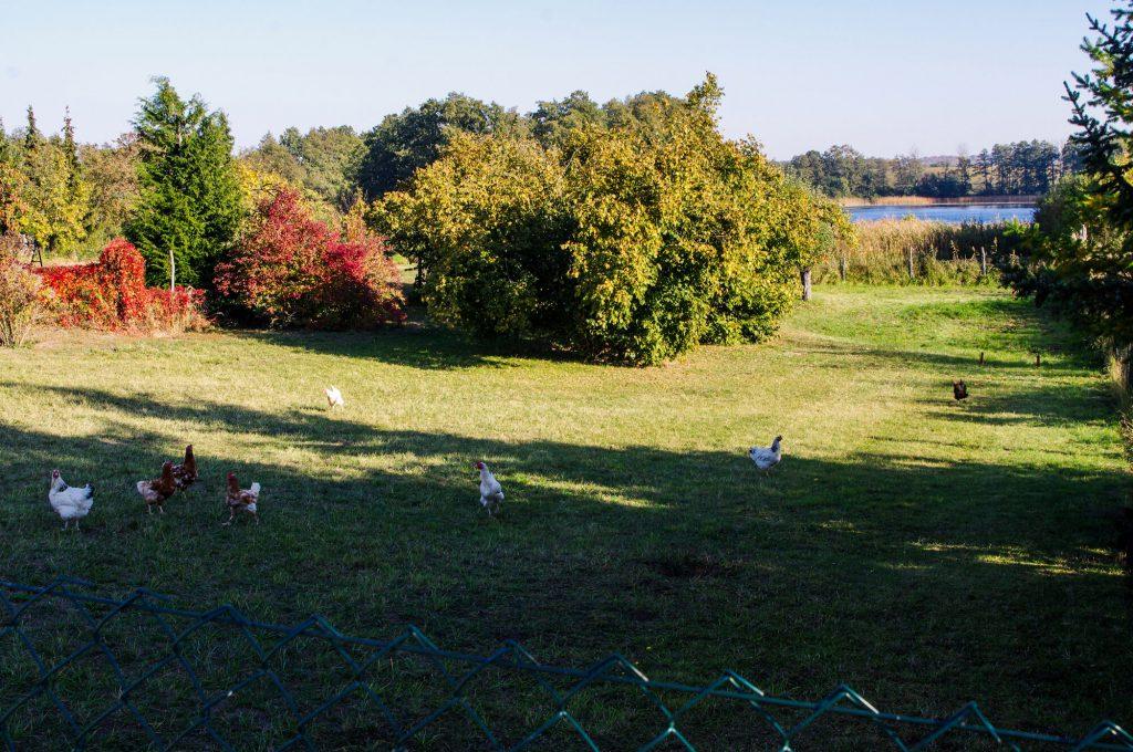Hühner auf einer Wiese in Brodowin in Brandenburg