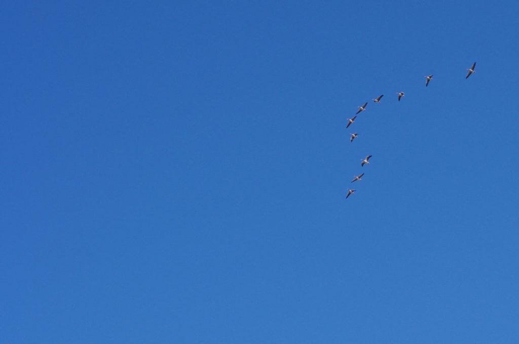 Zugvögel am Himmel - Brodowin in Brandenburg