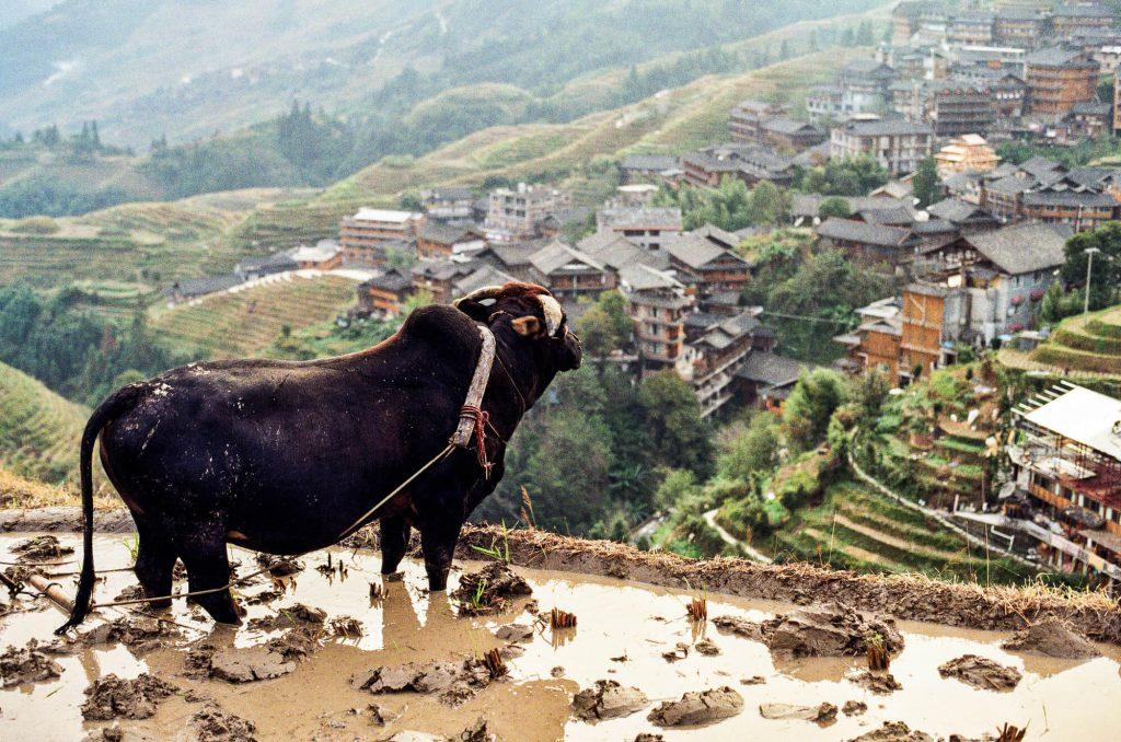 Wasserbüffel schaut auf das chinesische Dorf Ping'an