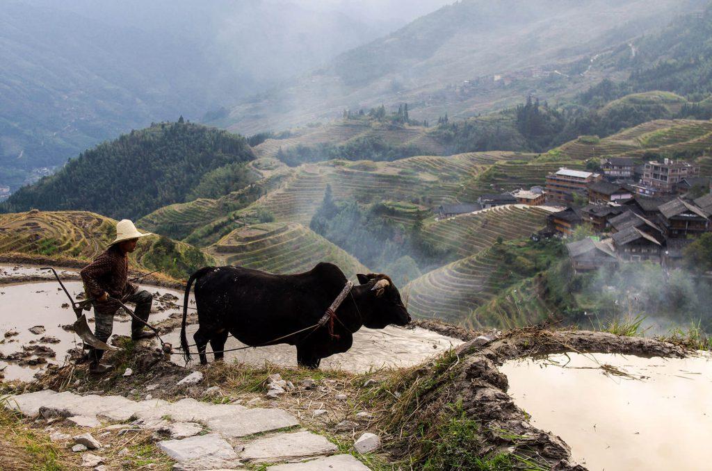 Reisbauer und Wasserbüffel in Ping'an in China