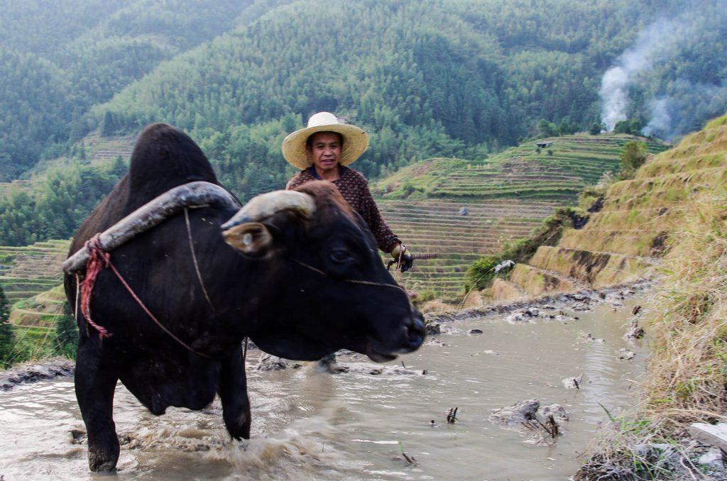 Reisbauer und Wasserbüffel in Ping'an