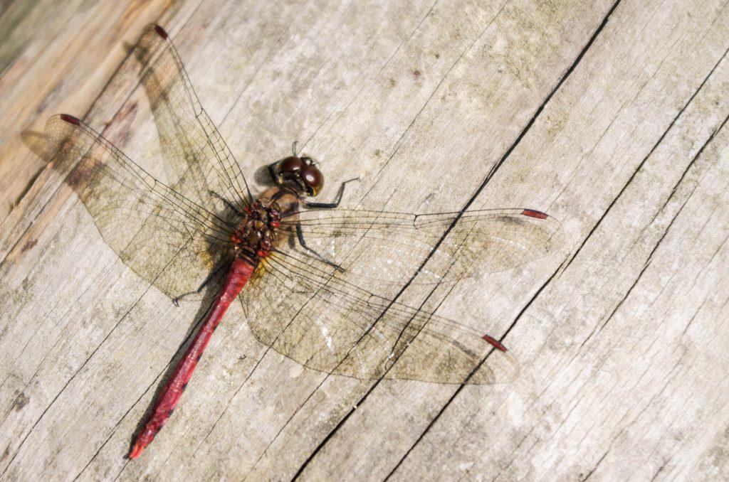 Libelle auf Holz