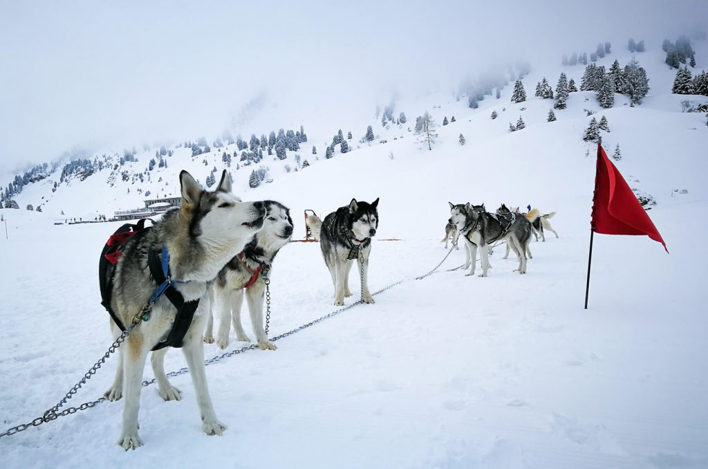 Huskies in Warth-Schröcken