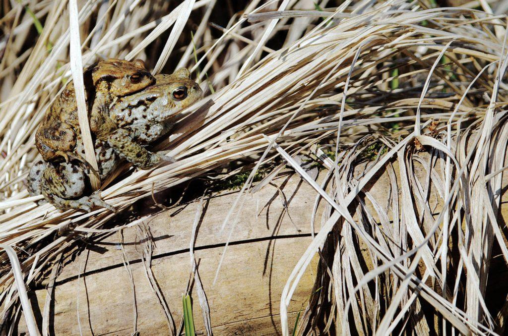 Erdkröten auf einer Wanderung durch das Finowtal