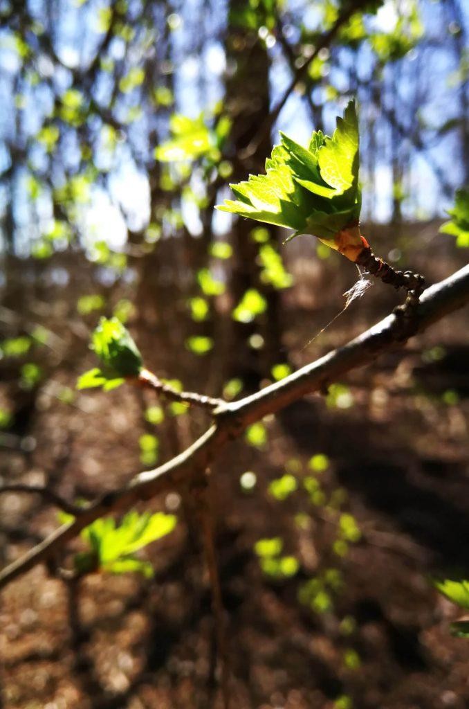 Erste grüne Blätter an einem Baum